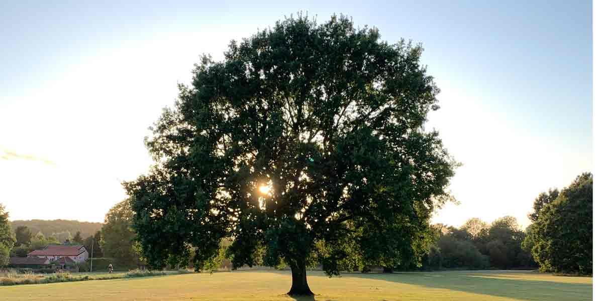 British-Oak-Tree